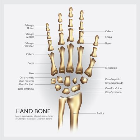 Hand bone anatomy with detail vector illustration.