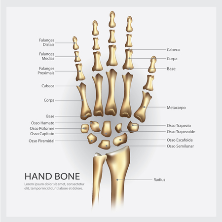 Hand bone anatomy with detail vector illustration.
