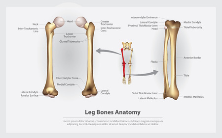 Human Anatomy Leg Bones with Detail Vector Illustration Illustration