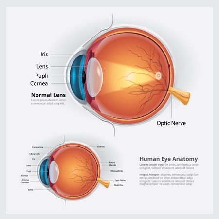 Anatomia ludzkiego oka i ilustracji wektorowych normalnego obiektywu