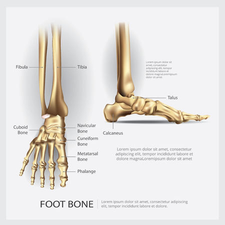 Human Anatomy Foot Bone Vector Illustration