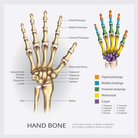 Hand Bone Vector Illustration