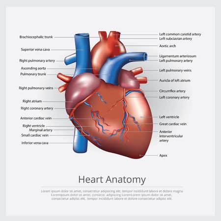 Human Heart Anatomy Vector Illustration  イラスト・ベクター素材
