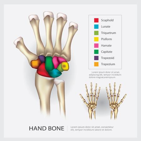 Ilustración de vector de hueso de mano de anatomía humana Ilustración de vector