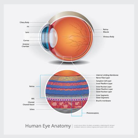 Human Eye Anatomy Vector Illustration Vector Illustration