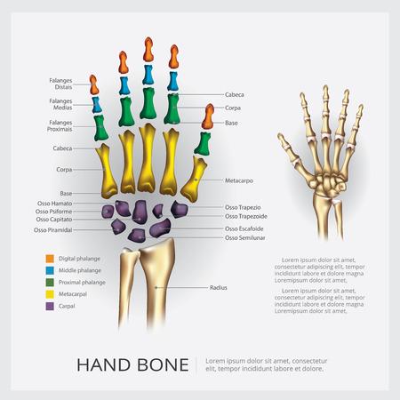 Human Anatomy Hand Bone Vector Illustration Illustration