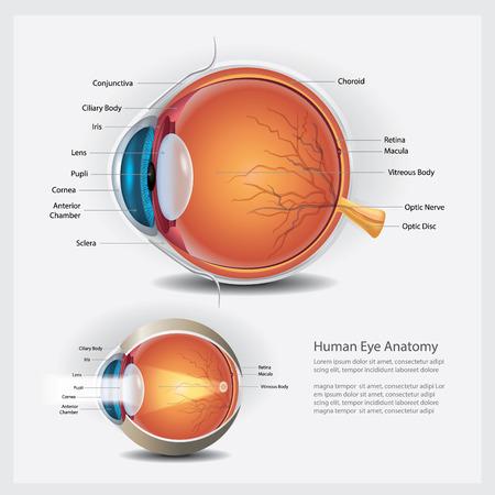 Human Eye Anatomy and Normal Lens Vector Illustration