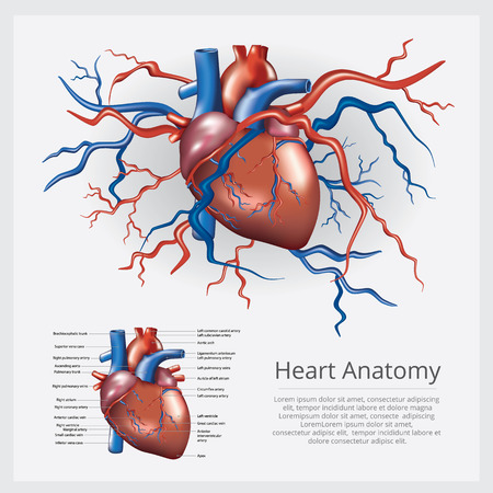 Human Heart Anatomy Vector Illustration Иллюстрация