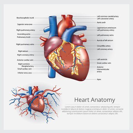 Human Heart Anatomy Vector Illustration Stock Illustratie