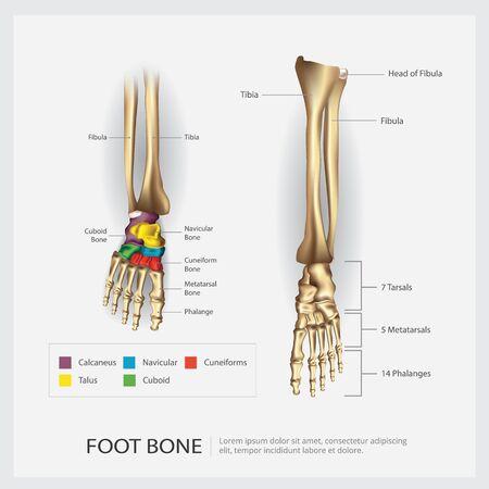 Foot Bone Anatomy Vector Illustration