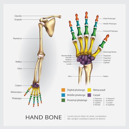 Arm and Hand Bone Vector Illustration