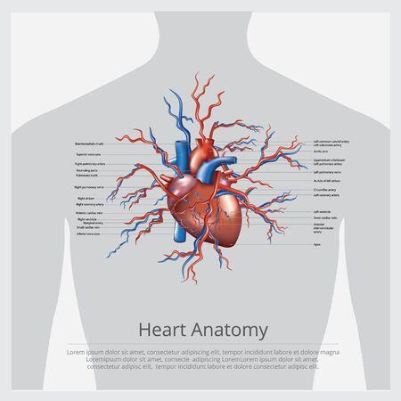 Heart Anatomy Vector Illustration