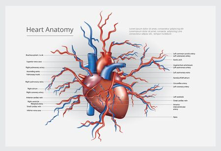 Heart Anatomy Vector Illustration Banco de Imagens - 146431271