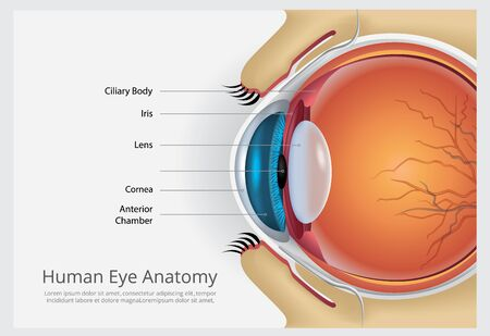 Human Eye Anatomy Vector Illustration Banco de Imagens - 148068075