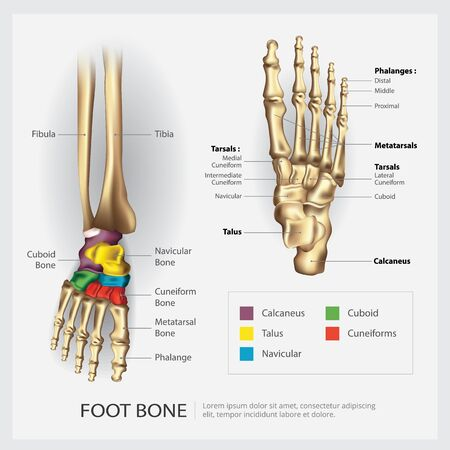Foot Bone Anatomy Vector Illustration Banco de Imagens - 148239906