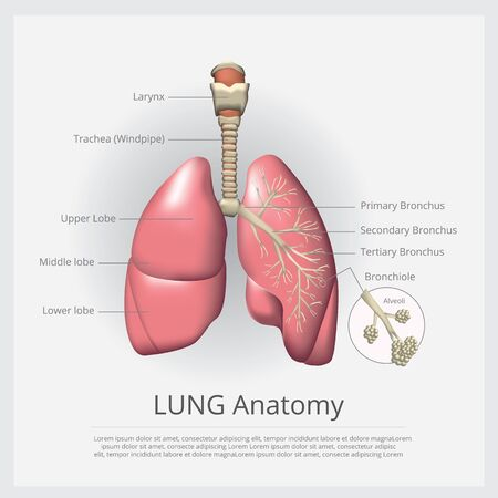 Lung with Detail Vector Illustration