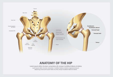 Human Anatomy of the Hip Vector Illustration Imagens - 151072738