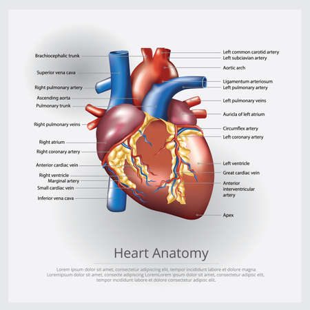 Human Heart Anatomy Vector Illustration Imagens - 152609752
