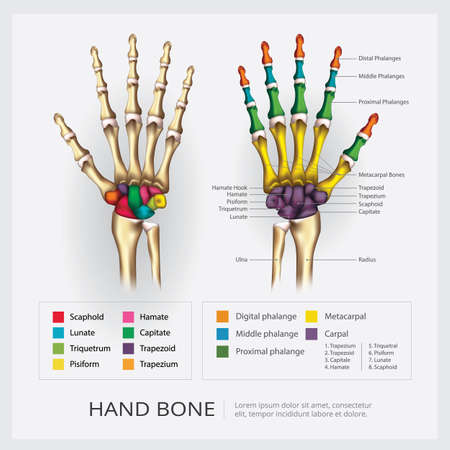 Human Hand Bone Vector Illustration Stock Illustratie