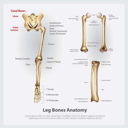 Human Anatomy Leg Bones Vector Illustration Stock Illustratie