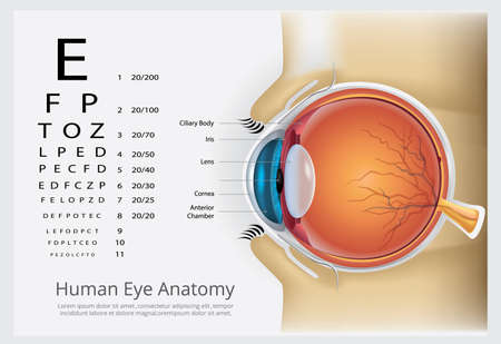 Human Eye Anatomy Vector Illustration 向量圖像