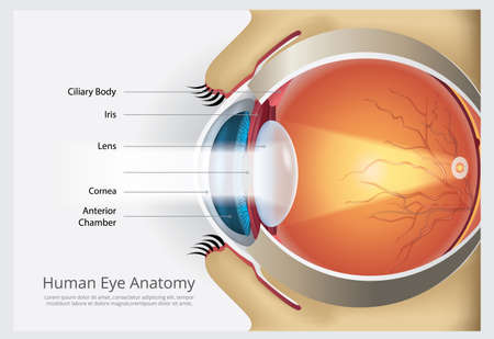 Human Eye Anatomy Vector Illustration Ilustração