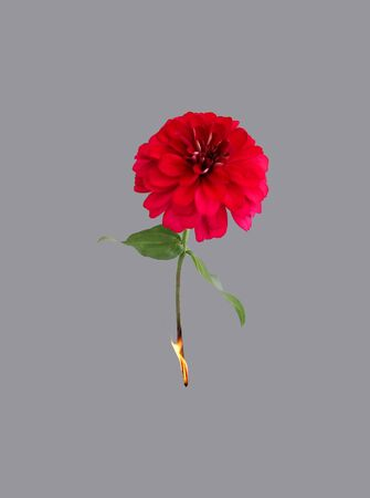 ignited: Ignited red blossom isolated on background