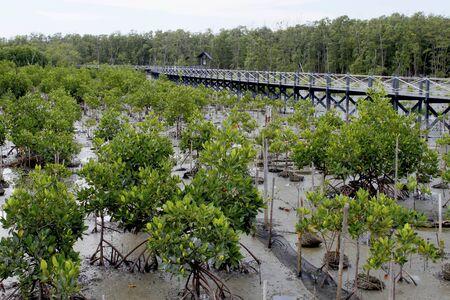 mangrove: mangrove