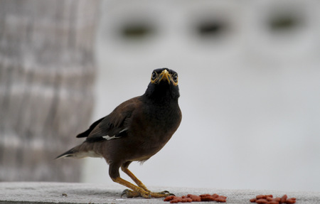 common myna bird: Common myna bird