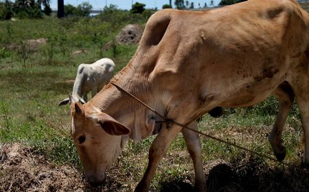 dairying: Cattle food