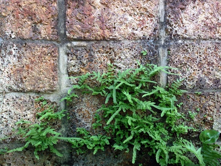 traditional textured: Green plant on the laterite wall  Stock Photo