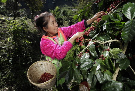 a woman belonging to the Ethnic Akha hill tribe collecting coffee