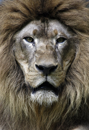 Closeup portrait of Lion  photo