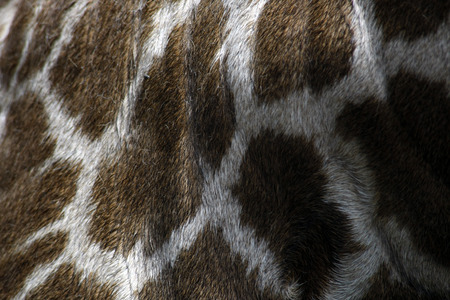 genuine leather skin of giraffe photo