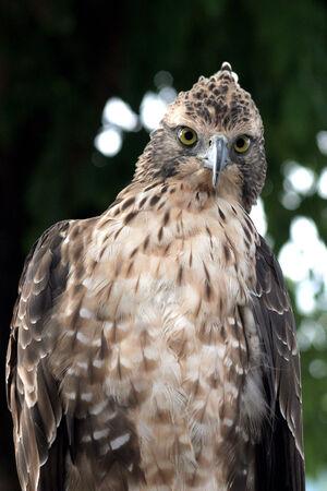 Closeup portrait of a falcon