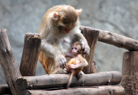 monkies: The Mother Monkey and Son