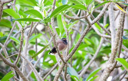 introduced: Myna Bird in the garden