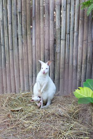 Albino Wallaby with baby Stock Photo