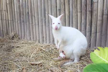albino: Albino Wallaby with baby Stock Photo