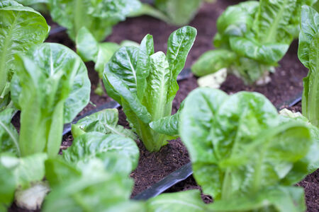Field of Green Leaf and lettuce crops growing