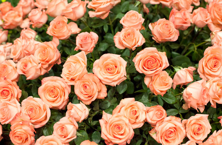 Close-up of a beautiful bouquet of orange roses background