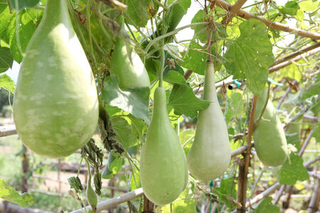 gourd on its tree in garden