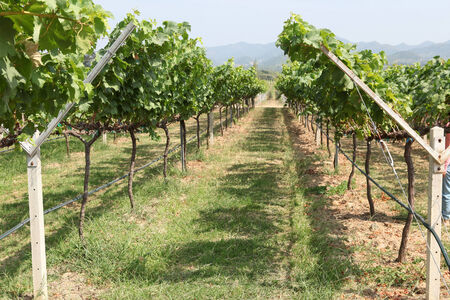 rows of grapes before harvesting Stock Photo