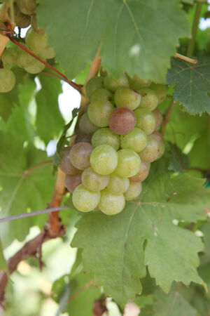 White wine grapes on an old vine