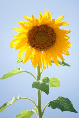 sunflower field. Stockfoto