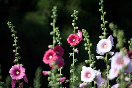 hollyhock: Hollyhock flower in the nature