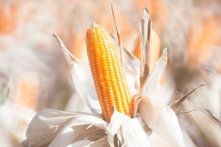 field of thai: closeup of corn in field