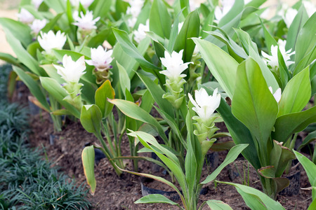 curcuma: Curcuma alismatifolia, Siam tulip or summer tulip in the garden