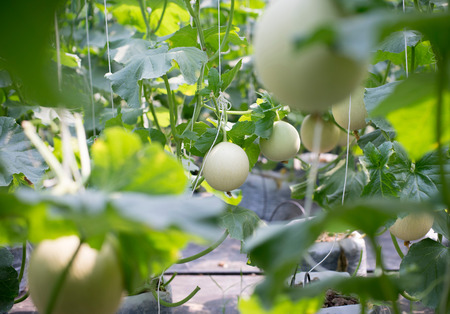 supported: Cantaloupe melons growing in a greenhouse supported by string melon nets
