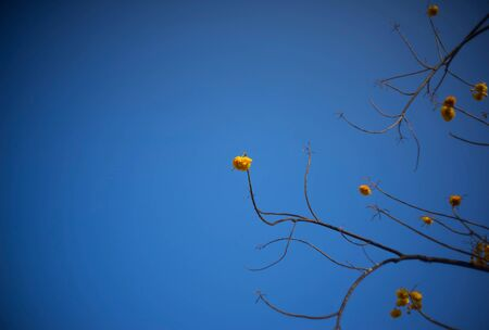 syn: Yellow silk cotton tree flowers on blue sky Stock Photo
